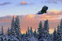 Bald Eagle flight. Bald Eagle in flight soaring in midair over winter forest with colorful sunset and half moon showing in the sky stock images