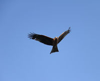 Eagle. An eagle in flight with the blue sky background Stock Photos