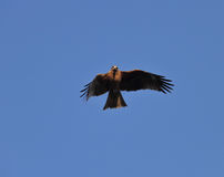 Eagle. An eagle in flight with the blue sky background Royalty Free Stock Image