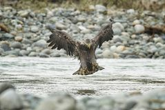 Eagle In Flight calvo in metà di aria fotografie stock libere da diritti
