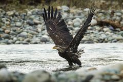 Eagle In Flight calvo no meio do ar imagens de stock