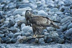 Eagle In Flight calvo no meio do ar imagem de stock royalty free