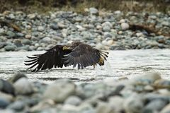 Eagle In Flight calvo no meio do ar foto de stock