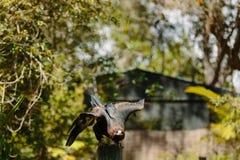 Eagle in flight at Currumbin Wildlife Park Royalty Free Stock Photo