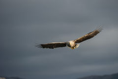 Eagle in flight. A female White-tailed eagle flying and looking directly at the camera Royalty Free Stock Photo