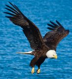 Eagle in flight. Eagle flying in front of the ocean Royalty Free Stock Image