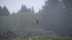 Eagle in flight with forest background Stock Images