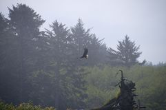 Eagle in flight with forest background Royalty Free Stock Image