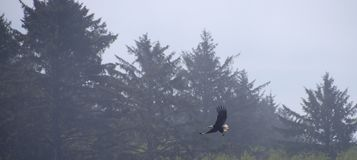 Eagle in flight with forest background Royalty Free Stock Photo
