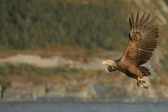 Eagle in Flight Stock Images
