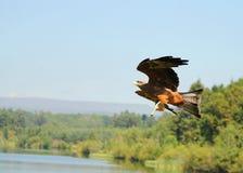 Bird of Prey. Eagle in flight over Scottish Loch Stock Image
