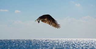 Eagle in flight over the sea. In summer stock photos