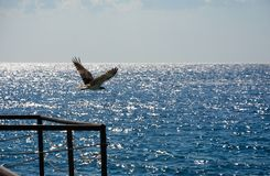 Eagle in flight in the sky. In summer day with wings Royalty Free Stock Photography
