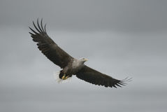 Eagle in Flight Stock Photography