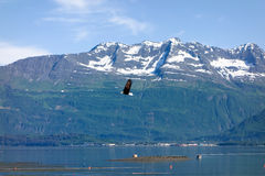 An eagle in flight at valdez. A bald eagle flying over the ocean in alaska with snow-capped mountains in the background Royalty Free Stock Photos