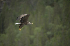 Eagle in Flight. Stock Image