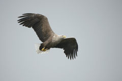 Eagle in Flight. Stock Photos