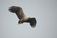 Eagle in Flight. Stock Photos