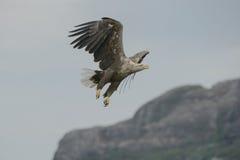 Eagle in Flight. Stock Image