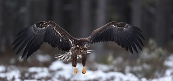 Eagle in flight. White-tailed eagle in flight. Royalty Free Stock Image