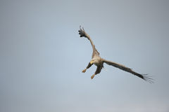 Eagle in Flight. Royalty Free Stock Image