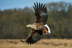 Eagle in flight Royalty Free Stock Photos