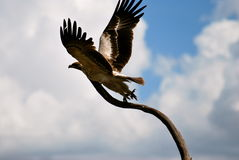 Eagle-Flug Lizenzfreies Stockbild