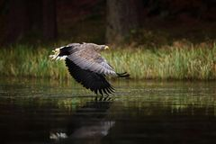 Eagle in fly above the dark lake. White-tailed Eagle, Haliaeetus albicilla, flight above the water river, bird of prey with forest. Czech Stock Image