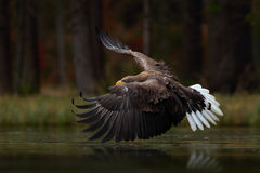Eagle in fly above the dark lake. White-tailed Eagle, Haliaeetus albicilla, flight above the water river, bird of prey with forest Royalty Free Stock Photography