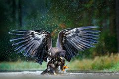 Eagle in fly above the dark lake. White-tailed Eagle, Haliaeetus albicilla, flight above the water river, bird of prey with forest.  stock image