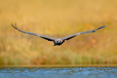 Eagle fly above the lake surface. White-tailed Eagle, Haliaeetus albicilla, face flight, bird of prey with forest in background. A Stock Photos