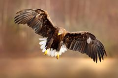 Eagle fly above the lake surface. White-tailed Eagle, Haliaeetus albicilla, face flight, landing, bird of prey with forest in back stock photography