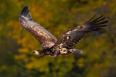 Eagle in fly. White-tailed Eagle, Haliaeetus albicilla, flight above the water river, bird of prey with forest in background, anim Stock Photo