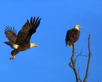 Eagle Flyby Zdjęcia Stock