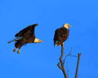 Eagle Flyby Stock Images