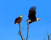 Eagle Flyby Stock Photo