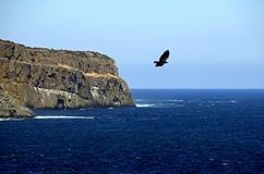 Eagle flyinf at Torbay Bight Killick Coastline Royalty Free Stock Photography