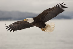 Eagle Flying. Over water with mountains in background stock photography
