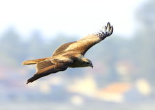 Eagle flying. While wings spread royalty free stock image
