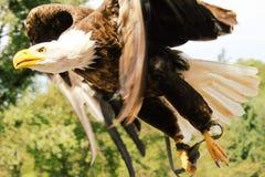 Eagle. A flying eagle Stock Photos