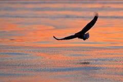 Eagle flying above the sea. Beautiful Steller`s sea eagle, Haliaeetus pelagicus, flying bird of prey, with sea water, Hokkaido, J. Apan Royalty Free Stock Photos