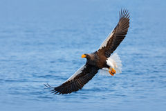 Eagle flying above the sea. Beautiful Steller`s sea eagle, Haliaeetus pelagicus, flying bird of prey, with blue sea water, Hokkaid Royalty Free Stock Photos