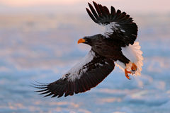 Eagle flying above the sea. Beautiful Steller`s sea eagle, Haliaeetus pelagicus, flying bird of prey, with blue sea water, Hokkaid stock image