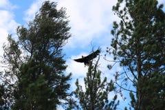 Eagle Flying Above Treetops Lizenzfreie Stockfotografie