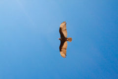 Eagle flying in blue sky Royalty Free Stock Photos