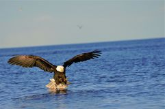 Eagle flying in for the catch. American golden eagle getting ready to a fish in Homer Alaska Royalty Free Stock Photography