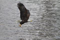 Eagle Flying chauve avec un poisson dans des ses serres photos libres de droits