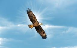Eagle Flying chauve en ciel bleu avec Sun au-dessus d'aile image stock