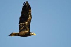 Eagle Flying chauve non mûr dans un ciel bleu Photos libres de droits