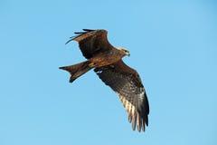 Eagle Flying in chiaro cielo blu Immagini Stock Libere da Diritti